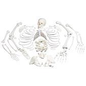 Anatomie model menselijk skelet, ongemonteerd