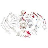 Anatomie model menselijk skelet met spieren, ongemonteerd