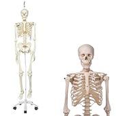 Anatomie model menselijk skelet, 177 cm