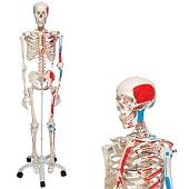 Anatomie model menselijk skelet met origo en insertie van spieren, 177 cm