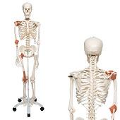 Anatomie model menselijk skelet met ligamenten, 177 cm