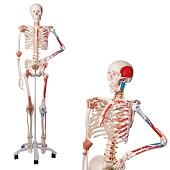 Anatomie model menselijk skelet met origo en insertie van spieren en ligamenten, flexibel, 177 cm