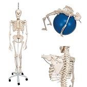 Anatomie model menselijk skelet, hangend, flexibel, 177 cm