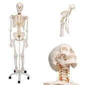 Anatomie model menselijk skelet, flexibel, 177 cm