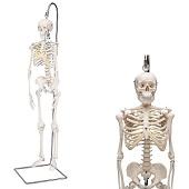 Anatomie model menselijk skelet, 80 cm