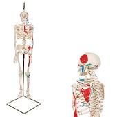 Anatomie model menselijk skelet met spieren, 80 cm