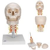 Anatomie model schedel met cervicale wervelkolom, 4-delig