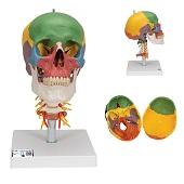 Anatomie model schedel met cervicale wervelkolom, gekleurd, 4-delig