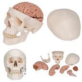 Anatomie model schedel met hersenen, 8-delig