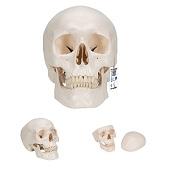 Anatomie model schedel, 3-delig