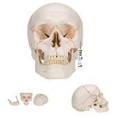 Anatomie model schedel, genummerd, 3-delig