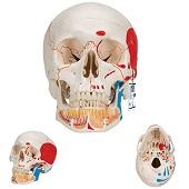 Anatomie model schedel met open onderkaak en spieren, 3-delig