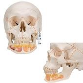 Anatomie model schedel met open onderkaak, 3-delig