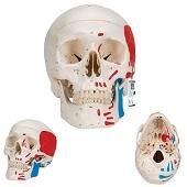 Anatomie model schedel met spieren, 3-delig