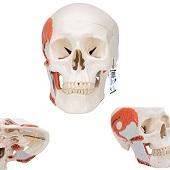 Anatomie model schedel met kauwspieren, 2-delig