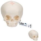 Anatomie model schedel foetus, 30 weken