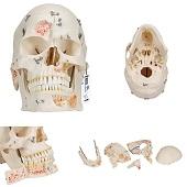 Anatomie model schedel deluxe, 10-delig