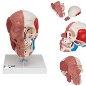 Anatomie model van het hoofd, schedel, gezichts- en kauwspieren, 18x18x25 cm