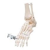 Anatomie model voetskelet, flexibel