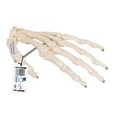 Anatomie model hand