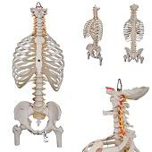 Anatomie model wervelkolom met ribbenkast, 83 cm