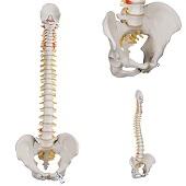 Anatomie model wervelkolom, 74 cm