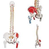 Anatomie model wervelkolom met spieren, 83 cm