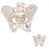 Anatomie model bekken en lumbale wervelkolom man