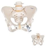 Anatomie model bekken en lumbale wervelkolom vrouw