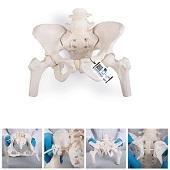 Anatomie model bekken en lumbale wervelkolom vrouw, flexibel