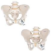 Anatomie model bekken en lumbale wervelkolom man en vrouw