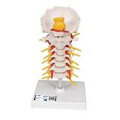 Anatomie model cervicale wervelkolom, 19 cm