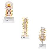 Anatomie model wervelkolom, 3 stuks