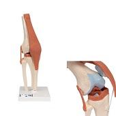 Anatomie model knie met kraakbeen