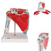 Anatomie model schouder met spieren