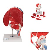 Anatomie model heup met spieren