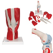 Anatomie model knie met spieren