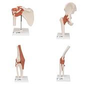 Anatomie model gewrichten (schouder, heup, knie, elleboog)