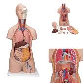 Anatomie model torso met organen, unisex, 12-delig, 87cm
