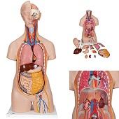 Anatomie model torso met organen, unisex, 14-delig, 87 cm