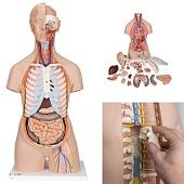 Anatomie model torso met organen, unisex, met open rug, 21-delig, 87 cm