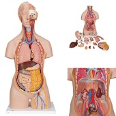 Anatomie model torso met organen, unisex, 18-delig, 87cm