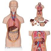 Anatomie model torso met organen, unisex, 12-delig, 54 cm