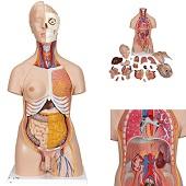 Anatomie model torso met organen, tweeslachtig, 20-delig, 87 cm