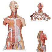 Anatomie model torso met organen, tweeslachtig, 31-delig, 87 cm