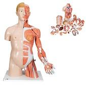 Anatomie model torso met organen deluxe, tweeslachtig, 33-delig, 90 cm