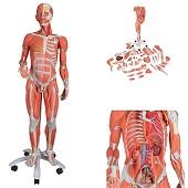 Anatomie model spieren en organen tweeslachtig (45-delig, 138x50x32cm)