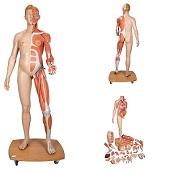 Anatomie model spieren en organen tweeslachtig, 39-delig, 174 cm
