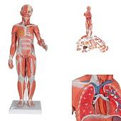 Anatomie model spieren en organen tweeslachtig, 33-delig, 84x30x30 cm