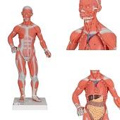 Anatomie model spieren en organen, 2-delig, 57x25x18cm